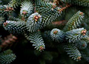 Omorika, Kerstboom, aan huis bezorgd, gratis
