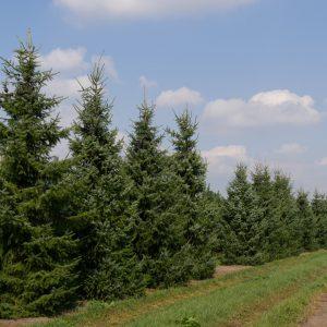 kerstboom 6-7 meter, gratis thuisbezorgd, Bezorging, Goeree Overflakkee, Schouwen Duiveland