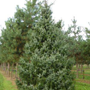 Omorika kerstboom 3-4 meter, boomaanhuis,nl, gratis thuisbezorgd, bedrijven